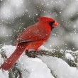Cardinal In A Snow Storm — Stock Photo #7926103