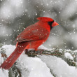 Stock Photo: Cardinal In Snow Storm