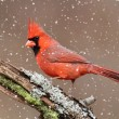 Cardinal In A Snow Storm — Stock Photo #7926157