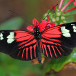 Stock Photo: Heliconius Butterfly