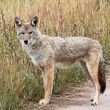 Western Coyote - Stock Photo