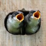 Baby Birds In a Bird House — Stock Photo