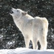 White Wolf In Snow — Stock Photo #7927915