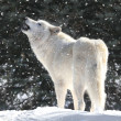 White Wolf In Snow — Stock Photo