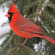 Cardinal In Snow — Stock Photo #7928239
