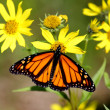 Stock Photo: Monarch Butterfly (danaus plexippus) on Woodland Sunflowers