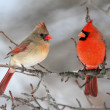 Cardinals In Snow — Stock Photo #7928623