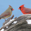 Stock Photo: Northern Cardinals