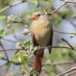 Stock Photo: Female Northern Cardinal (cardinalis cardinalis)
