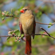 Female Northern Cardinal (cardinalis) — Stock Photo #7929199