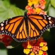 Stock Photo: Monarch Butterfly (danaus plexippus) on Flowers