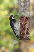 Acorn Woodpecker (Melanerpes formicivorus) — Stock Photo