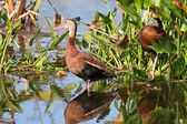 Black-bellied Whistling-ducks — Stock Photo