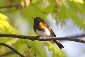American Redstart Warbler — Stock Photo
