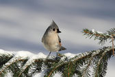 Titmouse On A Branch — Stock Photo