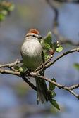 Chipping Sparrow (Spizella passerina) — Stock Photo