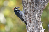 Acorn Woodpecker (Melanerpes formicivorus) — Stock Photo