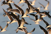 Flock of Black Skimmers in flight — Stock Photo
