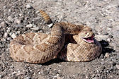 Western Diamondback Rattlesnake (Crotalus atrox) — Stock Photo
