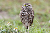 Burrowing Owl (athene cunicularia) — Stock Photo