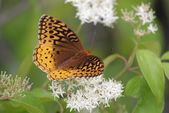 Great Spangled Fritillary (Speyeria cybele) — Stock Photo