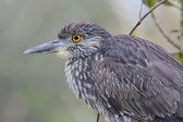 Juvenile Black-crowned Night-Heron — Stock Photo