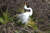 Great Egret Breeding Display — Stock Photo