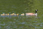 加拿大鹅 (雁枝) 与婴儿 — 图库照片