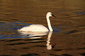 Trumpeter Swan (Cygnus buccinator) — Stock Photo