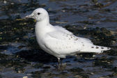 Rare Ivory Gull (Pagophila eburnea) — Stock Photo