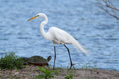 Great Egret (Ardea alba) — Foto Stock