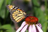 Monarch kelebek (Danaus plexippus) — Stok fotoğraf