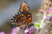 Red-spotted Purple Butterfly (Limenitis arthemis) — Stock Photo