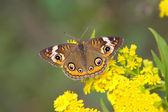 Common Buckeye Butterfly (Junonia coenia) — Stock Photo