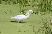 Snowy Egret (Egretta thula) — Stock fotografie
