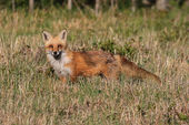 Red Fox — Stock fotografie