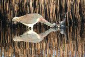 Tricolored Heron (Egretta tricolor) — Stock Photo