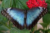 Blå morpho fjäril — Stockfoto