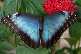 Mavi Morfo kelebek — Stok fotoğraf