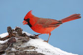 红衣主教在雪中 — 图库照片