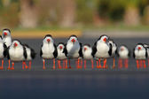 Flock of Black Skimmers — Stock Photo