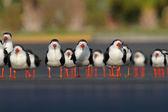 Flock of Black Skimmers — Stock Photo