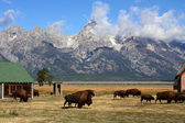 Bison Herd in the Grand Tetons — Stock Photo