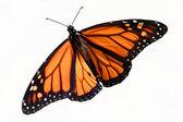 Monarch Butterfly (danaus plexippus) Isolated — Stock Photo