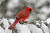 Cardinal In A Snow Storm — Stock Photo