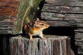 Eastern Chipmunk (Tamias striatus) — Stock Photo