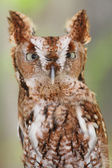 Eastern Screech-Owl (Megascops asio) — Stock Photo