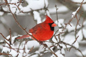 Cardinal In Snow — Stock Photo