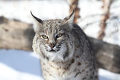 Bobcat (Lynx rufus) — Stock Photo