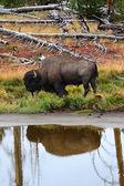 American Bison (Buffalo) — Stock Photo